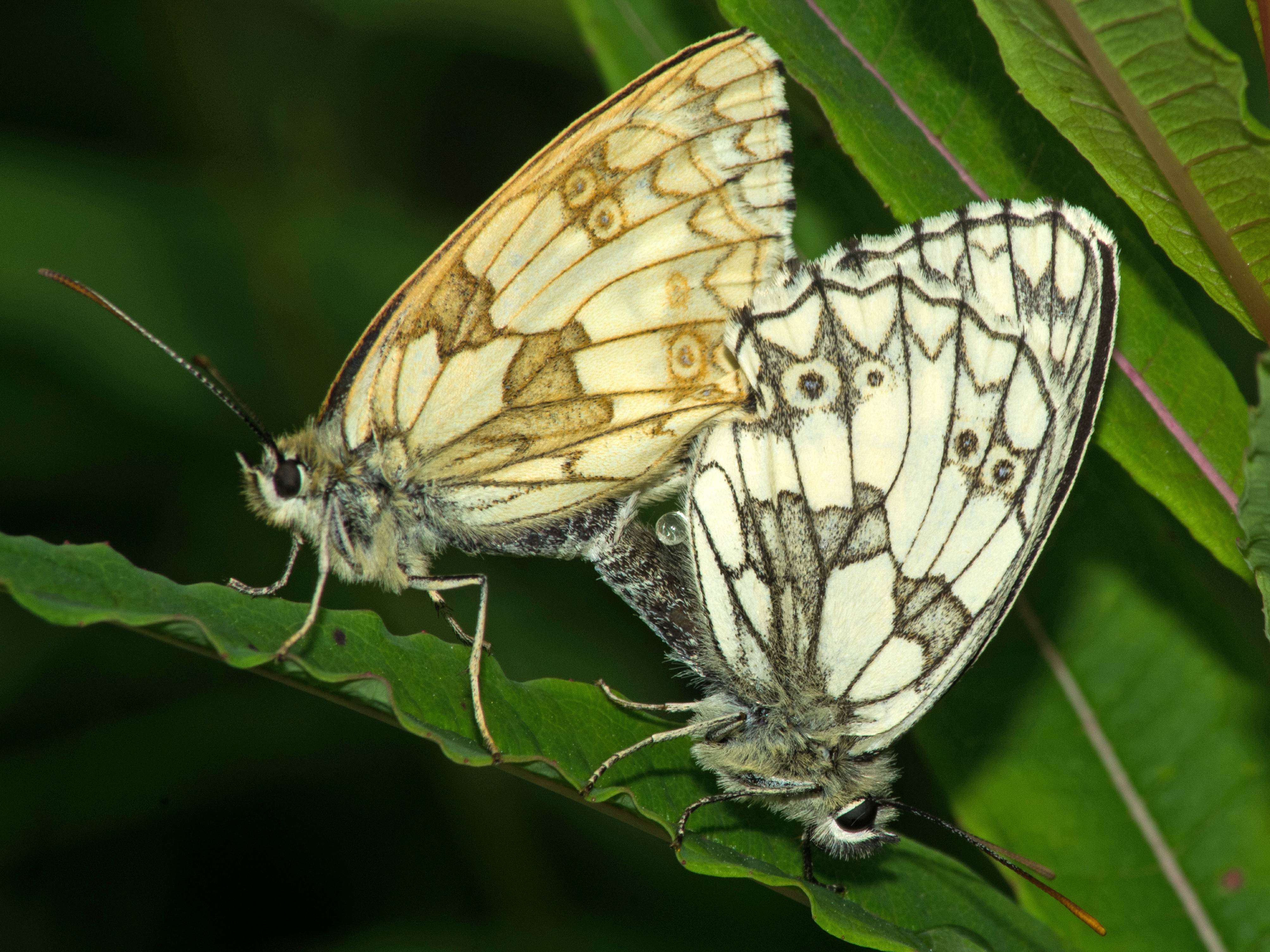 mating marbled white toton 2016